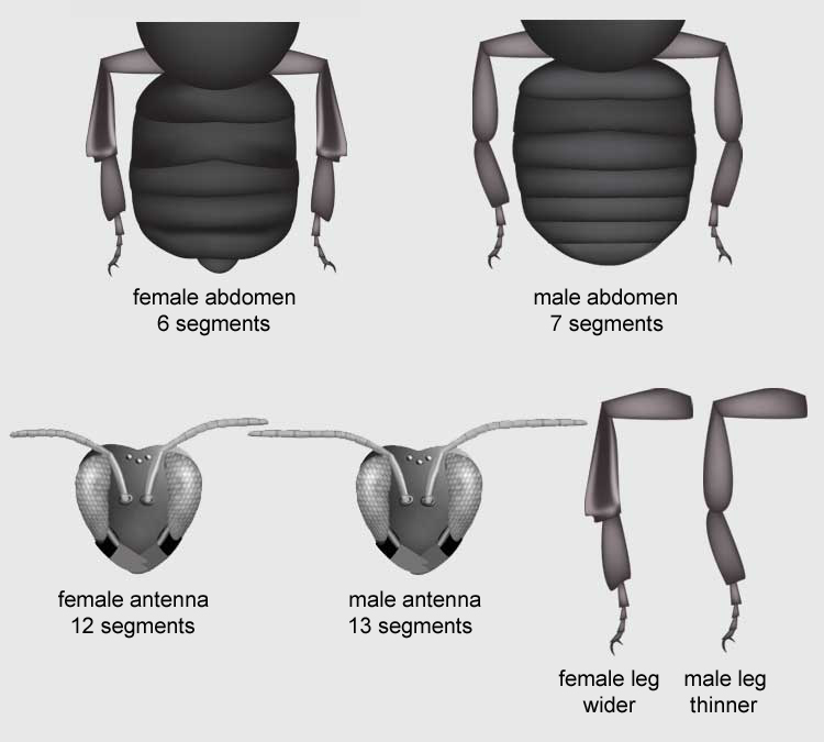 Bumble Bee Anatomy Bumble Bee Watch