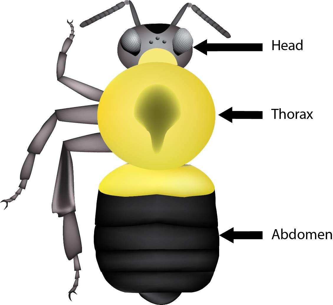 Anatomy Bumble Bee Watch